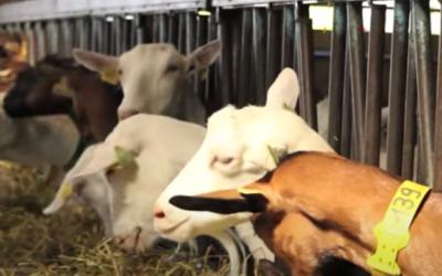 Osez le foin de qualité pour les chèvres : interview de Jean-Claude Gauvreau
